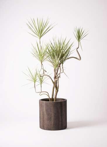 観葉植物 コンシンネ ホワイポリー 10号 曲り アルファシリンダープランター 付き