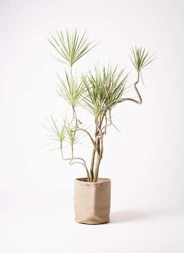 観葉植物 コンシンネ ホワイポリー 10号 曲り リブバスケットNatural 付き