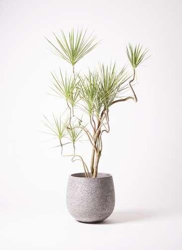 観葉植物 コンシンネ ホワイポリー 10号 曲り エコストーンGray 付き