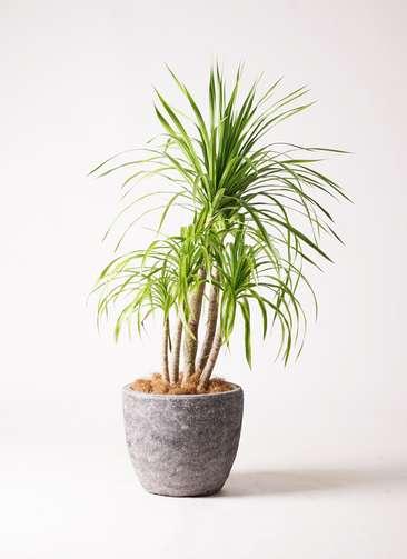 観葉植物 ドラセナ カンボジアーナ 8号 アビスソニアミドル 灰 付き