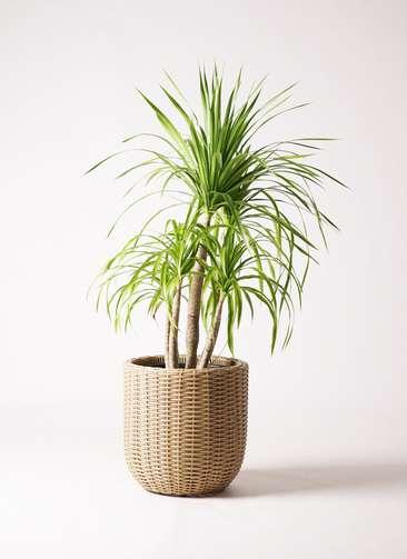 観葉植物 ドラセナ カンボジアーナ 8号 ウィッカーポットエッグ ベージュ 付き