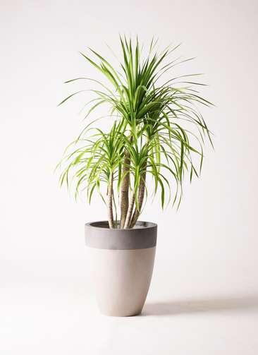観葉植物 ドラセナ カンボジアーナ 8号 ファイバーストーンカプリ サンディホワイト 付き