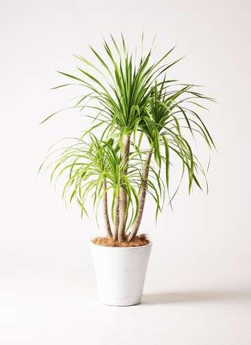 観葉植物 ドラセナ カンボジアーナ 8号 フォリオソリッド 白 付き