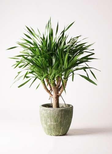 観葉植物 ドラセナ パラオ 8号 アビスソニアミドル 緑 付き