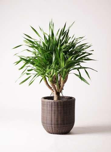 観葉植物 ドラセナ パラオ 8号 ウィッカーポットエッグ 茶 付き