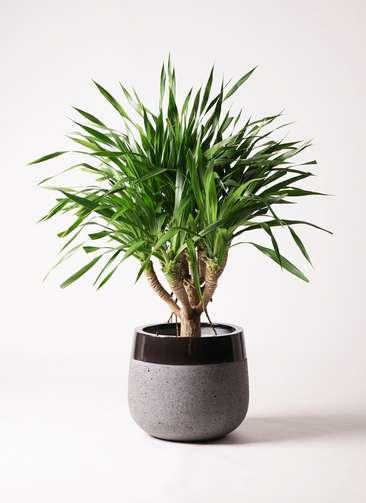 観葉植物 ドラセナ パラオ 8号 ファイバーストーンタウルス 黒 付き