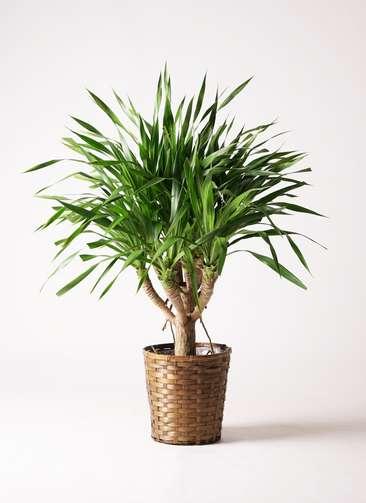 観葉植物 ドラセナ パラオ 8号 竹バスケット 付き