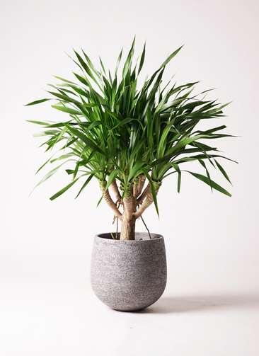 観葉植物 ドラセナ パラオ 8号 エコストーンGray 付き