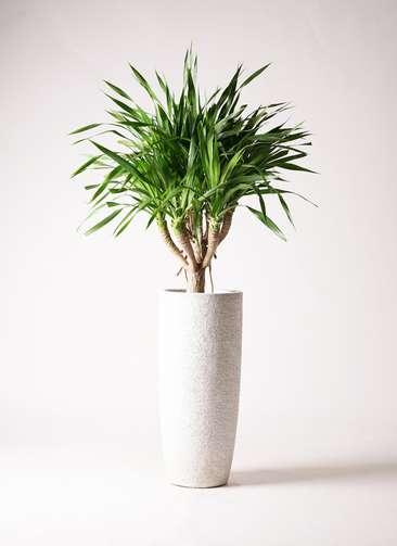 観葉植物 ドラセナ パラオ 8号 エコストーントールタイプ white 付き