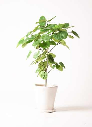 観葉植物 フィカス ウンベラータ 8号 ノーマル サブリナ 白 付き