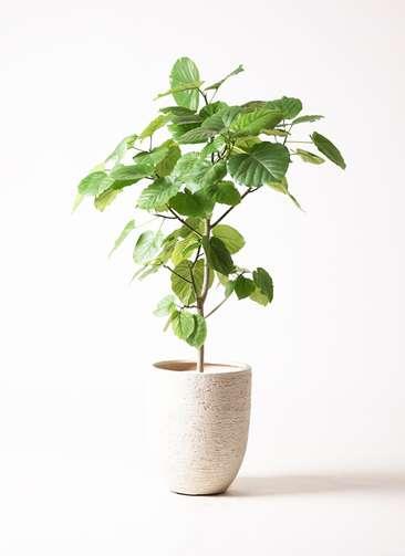 観葉植物 フィカス ウンベラータ 8号 ノーマル ビアスアルトエッグ 白 付き