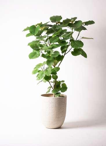観葉植物 フィカス ウンベラータ 10号 ノーマル ビアスアルトエッグ 白 付き