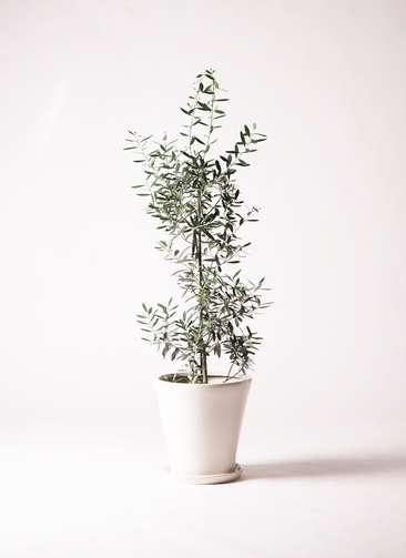 観葉植物 オリーブの木 8号 チプレッシーノ サブリナ 白 付き