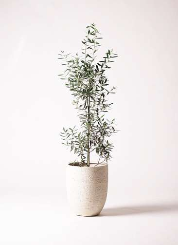 観葉植物 オリーブの木 8号 チプレッシーノ ビアスアルトエッグ 白 付き