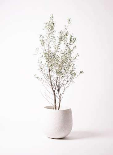 観葉植物 オリーブの木 10号 チプレッシーノ エコストーンwhite 付き