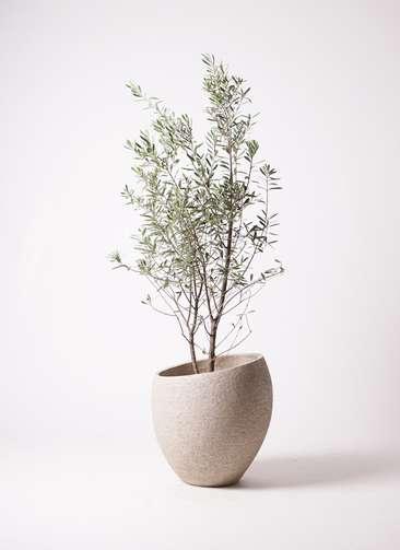 観葉植物 オリーブの木 10号 チプレッシーノ エコストーンLight Gray 付き
