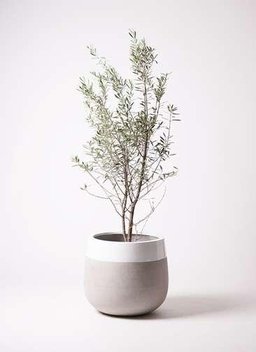 観葉植物 オリーブの木 10号 チプレッシーノ ファイバーストーンタウルス ミドル 白 付き
