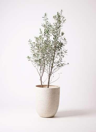 観葉植物 オリーブの木 10号 チプレッシーノ ビアスアルトエッグ 白 付き