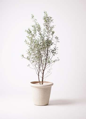観葉植物 オリーブの木 10号 チプレッシーノ ビアスリムス 白 付き