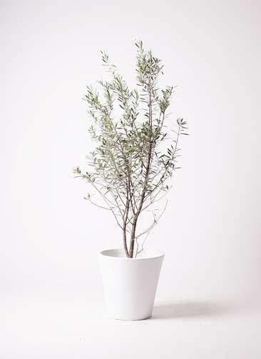 観葉植物 オリーブの木 10号 チプレッシーノ フォリオソリッド 白 付き