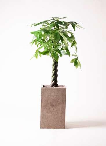 観葉植物 パキラ 8号 ねじり セドナロング グレイ 付き