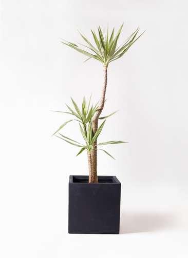 観葉植物 ユッカ 10号 斑入り ベータ キューブプランター 黒 付き