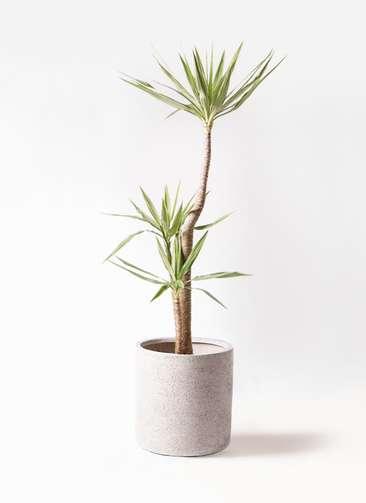 観葉植物 ユッカ 10号 斑入り サンディ シリンダー 白 付き