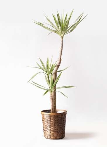 観葉植物 ユッカ 10号 斑入り 竹バスケット 付き
