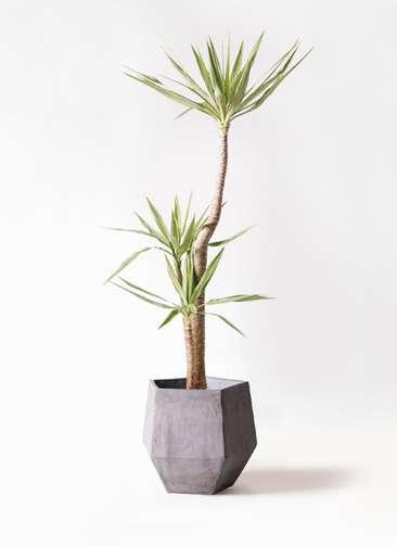 観葉植物 ユッカ 10号 斑入り ファイバークレイGray 付き