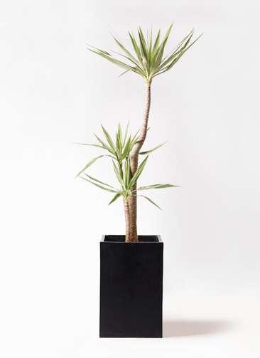 観葉植物 ユッカ 10号 斑入り セドナロング 墨 付き