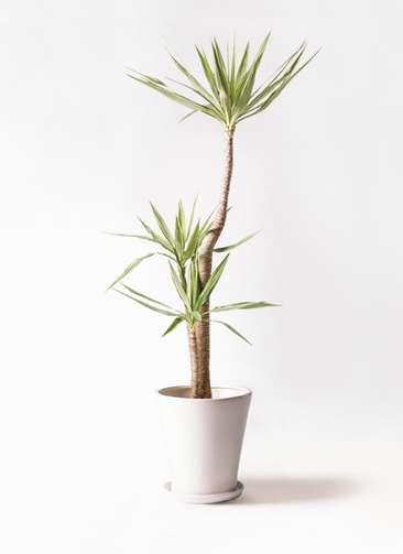 観葉植物 ユッカ 10号 斑入り サブリナ 白 付き