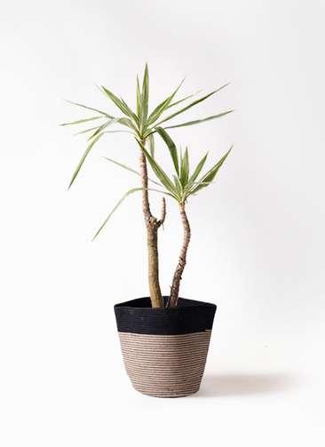 観葉植物 ユッカ 8号 斑入り リブバスケットNatural and Black 付き