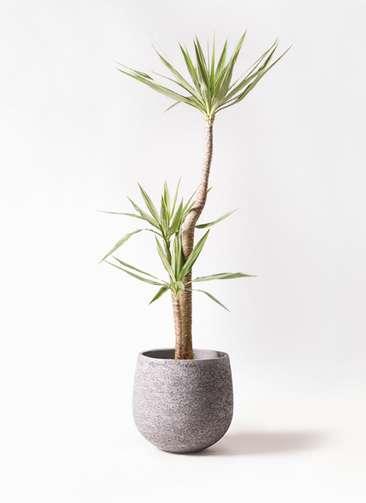 観葉植物 ユッカ 10号 斑入り エコストーンGray 付き