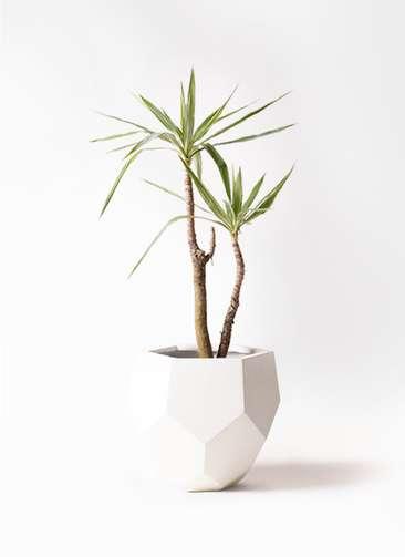 観葉植物 ユッカ 8号 斑入り ポリゴヘクサ 白 付き