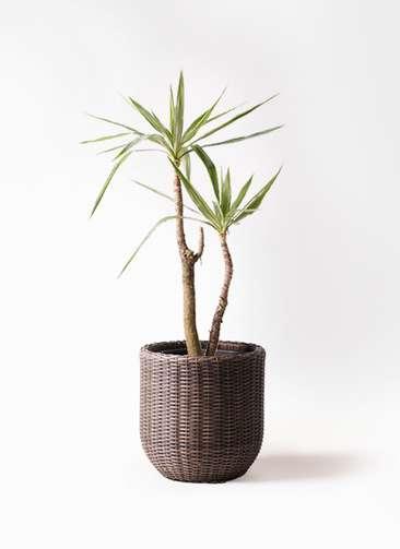 観葉植物 ユッカ 8号 斑入り ウィッカーポットエッグ 茶 付き