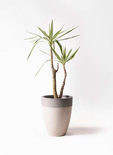 観葉植物 ユッカ 8号 斑入り ファイバーストーンカプリ サンディホワイト 付き