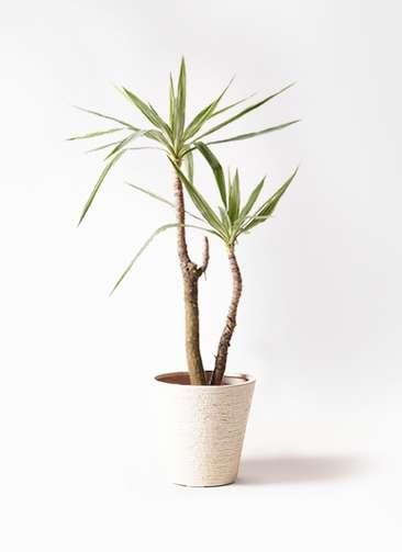 観葉植物 ユッカ 8号 斑入り ビアスソリッド 白 付き