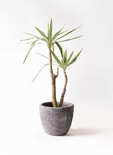 観葉植物 ユッカ 8号 斑入り アビスソニアミドル 灰 付き