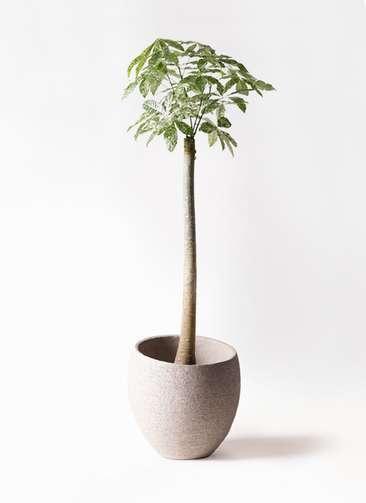 観葉植物 パキラ 10号 朴 斑入り エコストーンLight Gray 付き