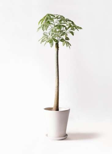 観葉植物 パキラ 10号 朴 斑入り サブリナ 白 付き
