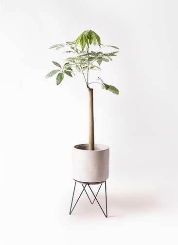 観葉植物 パキラ 8号 朴 斑入り ビトロ エンデカ 鉢カバースタンド付 クリーム 付き