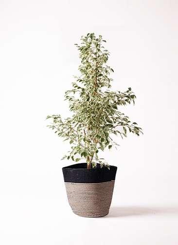 観葉植物 フィカス ベンジャミン 8号 スターライト リブバスケットNatural and Black 付き