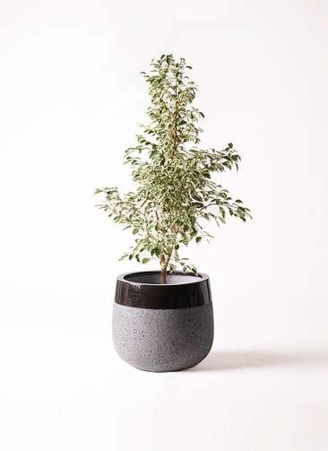 観葉植物 フィカス ベンジャミン 8号 スターライト ファイバーストーンタウルス 黒 付き