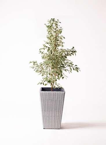 観葉植物 フィカス ベンジャミン 8号 スターライト ウィッカーポット スクエアロング OT 白 付き