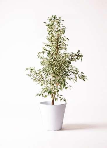 観葉植物 フィカス ベンジャミン 8号 スターライト フォリオソリッド 白 付き