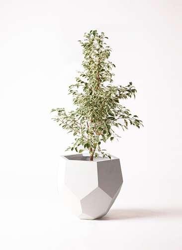 観葉植物 フィカス ベンジャミン 8号 スターライト ポリゴヘクサ 白 付き