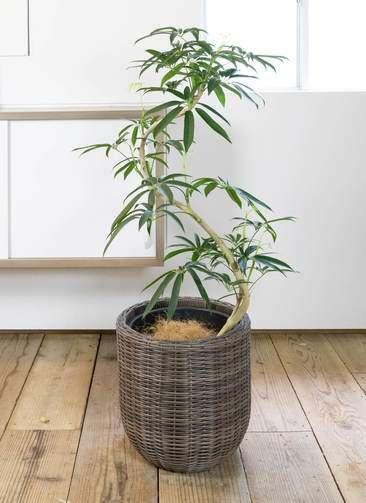 観葉植物 シェフレラ アンガスティフォリア 8号 曲り ウィッカーポット エッグ NT 茶 付き