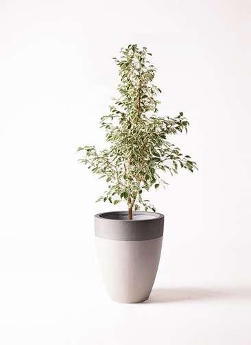 観葉植物 フィカス ベンジャミン 8号 スターライト ファイバーストーンカプリ サンディホワイト 付き