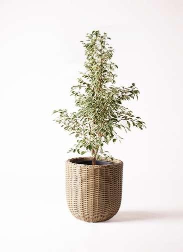 観葉植物 フィカス ベンジャミン 8号 スターライト ウィッカーポットエッグ ベージュ 付き