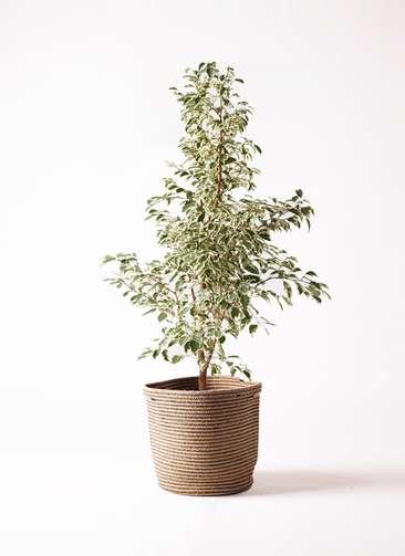 観葉植物 フィカス ベンジャミン 8号 スターライト リブバスケットNatural 付き
